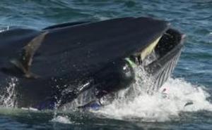 Una ballena se traga a un buzo y lo escupe vivo poco después en una playa cercana en Sudáfrica