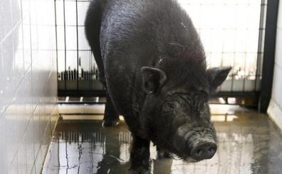 Sin cerdos vietnamitas ni pitones en casa