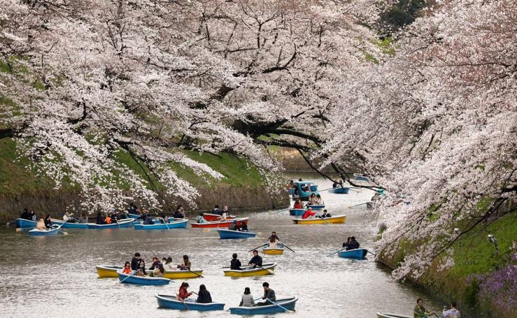 El bello espectáculo de los cerezos en flor en Japón
