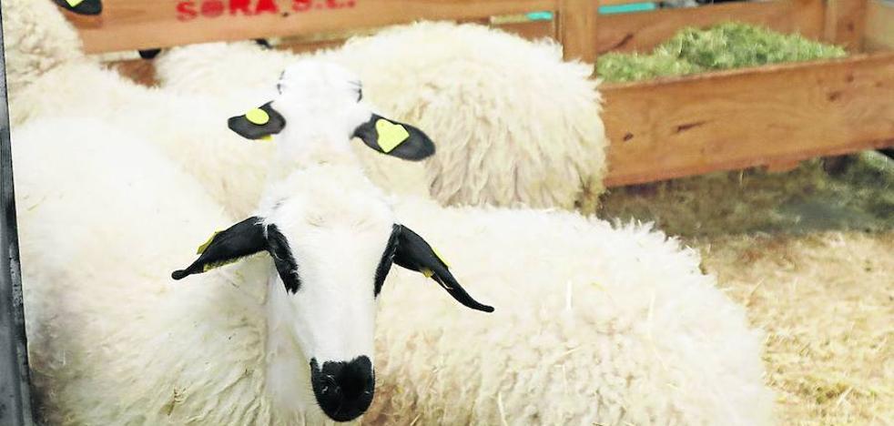 Anche implica a la hostelería de Palencia para promocionar la raza de ovino churro