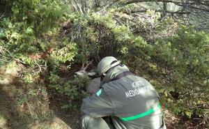 Tres de cada cuatro corzos se abaten de forma ilegal en Segovia