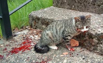La Braña denuncia un nuevo caso de maltrato a un gato en Barruelo