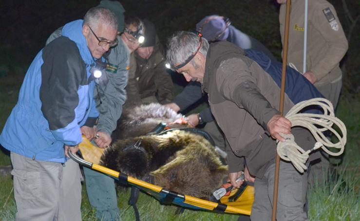 Hallan un oso pardo en la localidad berciana de Palacios del Sil
