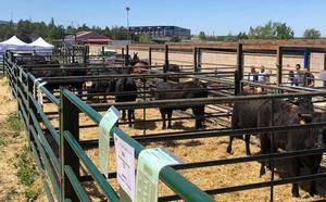La subasta de ganado de raza avileña en Villacastín cuelga el cartel de 'todo vendido'