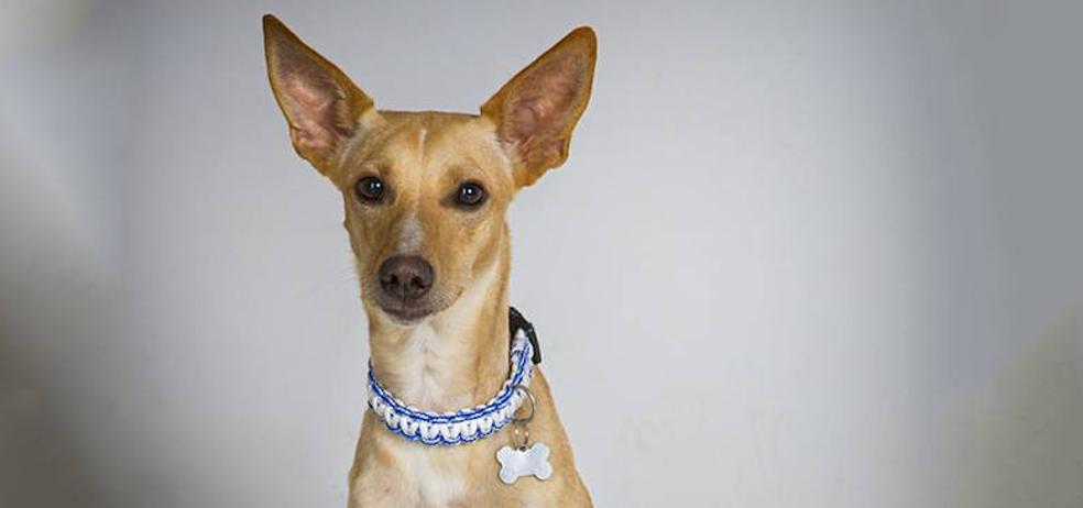 La triste historia de Ross, el perro adoptado y devuelto al poco tiempo en Valladolid