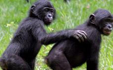 Cómo las mamás bonobo hacen de Celestina de sus hijos machos