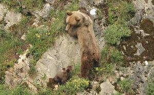 Piden 15 meses de cárcel para cada uno de los dos acusados de disparar a un oso en Palencia