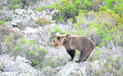 La Montaña Palentina duplica su población de osos en dos décadas