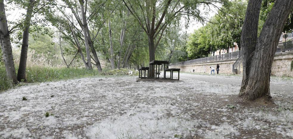 El Ayuntamiento de Palencia plantea sustituir los chopos por árboles que no generen pelusas