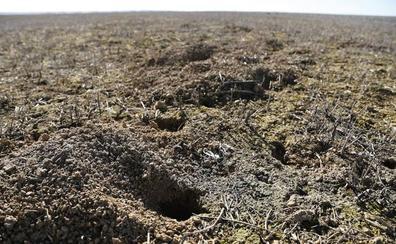Asaja alerta de un «aumento brutal» de topillos en Tierra de Campos