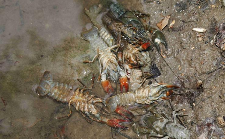 Cangrejos muertos en el río Duratón a su paso por Peñafiel