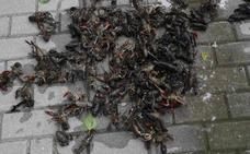 Aparecen cientos de cangrejos muertos en el Duratón