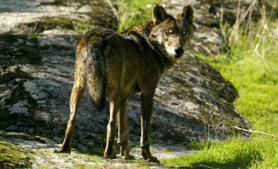 El Gobierno considera al lobo especie de protección especial al sur del Duero