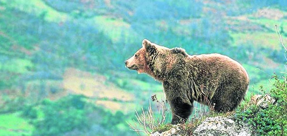 Somiedo, tras las huellas del oso pardo