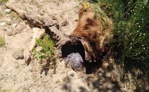 Cinco ataques de lobo en una semana en Ávila, tres de ellos en Las Navas del Marqués