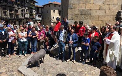 El marrano de San Antón vaga libre por las calles de la localidad serrana de La Alberca