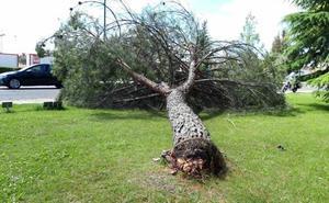 Los bomberos retiran un pino de grandes dimensiones que se desplomó en el Camino Viejo de Simancas de Valladolid