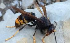 La presencia de la avispa asiática se intensifica en la comarca Bierzo y el trampeo de primavera permite 18 capturas