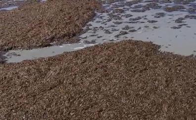 Miles de algas asiáticas invaden la costa de Tarifa