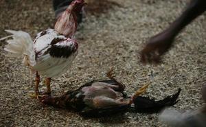 Veinte identificados cuando entrenaban a gallos de pelea en plena calle de Las Flores