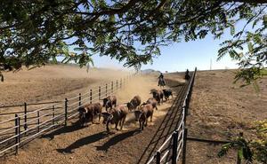Cuéllar volverá a tener toros, en vez de novillos, para el encierro del domingo
