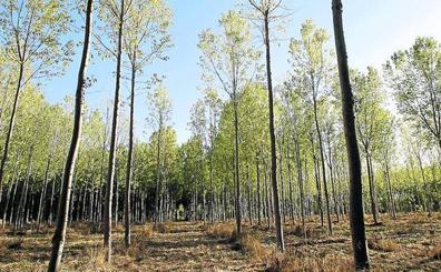 El nuevo criterio en la medición de la ribera de los ríos deja sin plantar 5.000 hectáreas de chopos