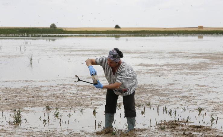 Investigadores del Csic estudian la plaga de topillos en tierra de campos (Palencia)