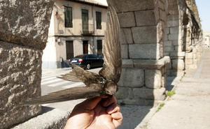 Diez vencejos segovianos estrenan en España un nuevo dispositivo GPS más preciso