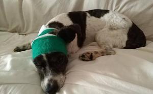 Un American Stafford suelto arranca una oreja a un perro de pequeño tamaño en Palencia