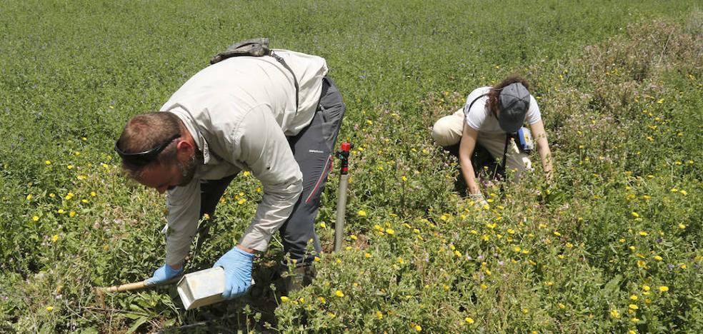 El riego con agua contaminada por topillos muertos propaga la bacteria de la tularemia por los campos de Palencia