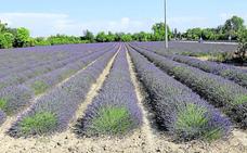 El cultivo de plantas aromáticas se cuadruplica en la última década