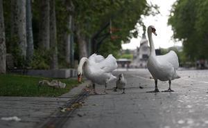 Una pareja de cisnes y sus crías salen de 'paseo' por la Acera de Recoletos de Valladolid