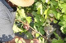 Luz verde a los vinos blancos de uva albillo en la Ribera del Duero