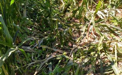 Los jabalíes vuelven atacar un campo de maíz en la localidad de Pollos