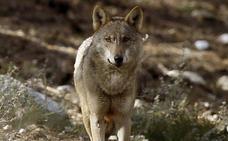 Orín de lobo para reducir accidentes de fauna en una carretera de zamora