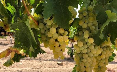 La sequía reducirá muy poco la cosecha de una uva que viene sana y con calidad