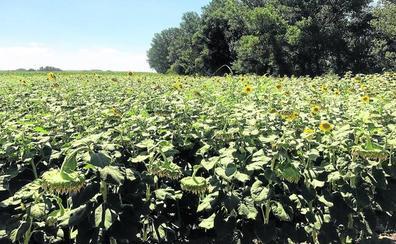 El girasol gana 17.000 hectáreas en un año que será «regular» en cosecha