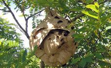 Las heladas de primavera ayudan a frenar el avance del avispón asiático