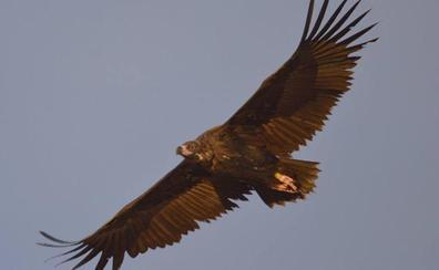 La colonia de buitres negros del pinar de Valsaín se salva del incendio de Guadarrama