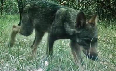 El lobezno herido en Burgos se recupera para ser reintroducido en su manada