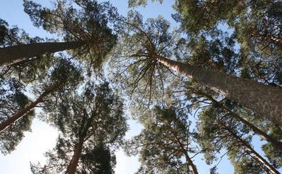 Un empresario gallego transportaba a una empresa de Segovia madera de pino infectada