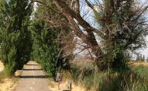 Usuarios del Sendero Verde de Valladolid piden la tala de un árbol seco ante el riesgo de caída