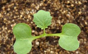 El CIALE mejora la productividad de la colza gracias a dos hongos