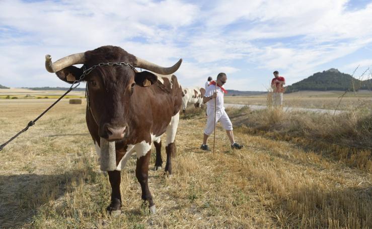 Trashumancia de bueyes en Tudela de Duero