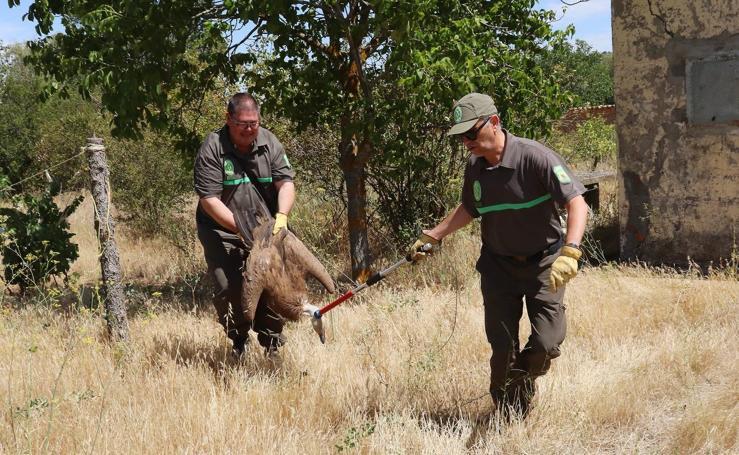 Agentes medioambientales liberan un buitre en Medina de Rioseco