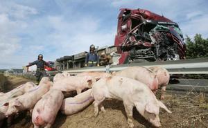 El dueño del camión con 210 cerdos accidentado en Palencia: «Dentro de lo malo nos tenemos que dar con un canto en los dientes»