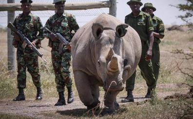 Fecundación in vitro para salvar el rinoceronte blanco