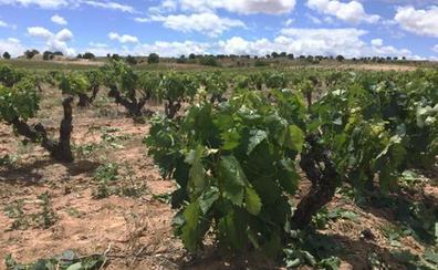 La DO Arlanza confía en recuperar la producción habitual tras las lluvias estivales