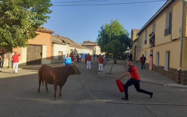Vaca enmaromada de Villafrechós