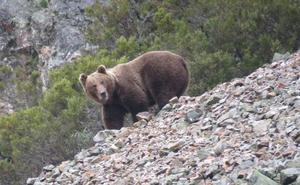 Sorpresa y susto en Villablino: un oso pardo busca comida en un contenedor del municipio